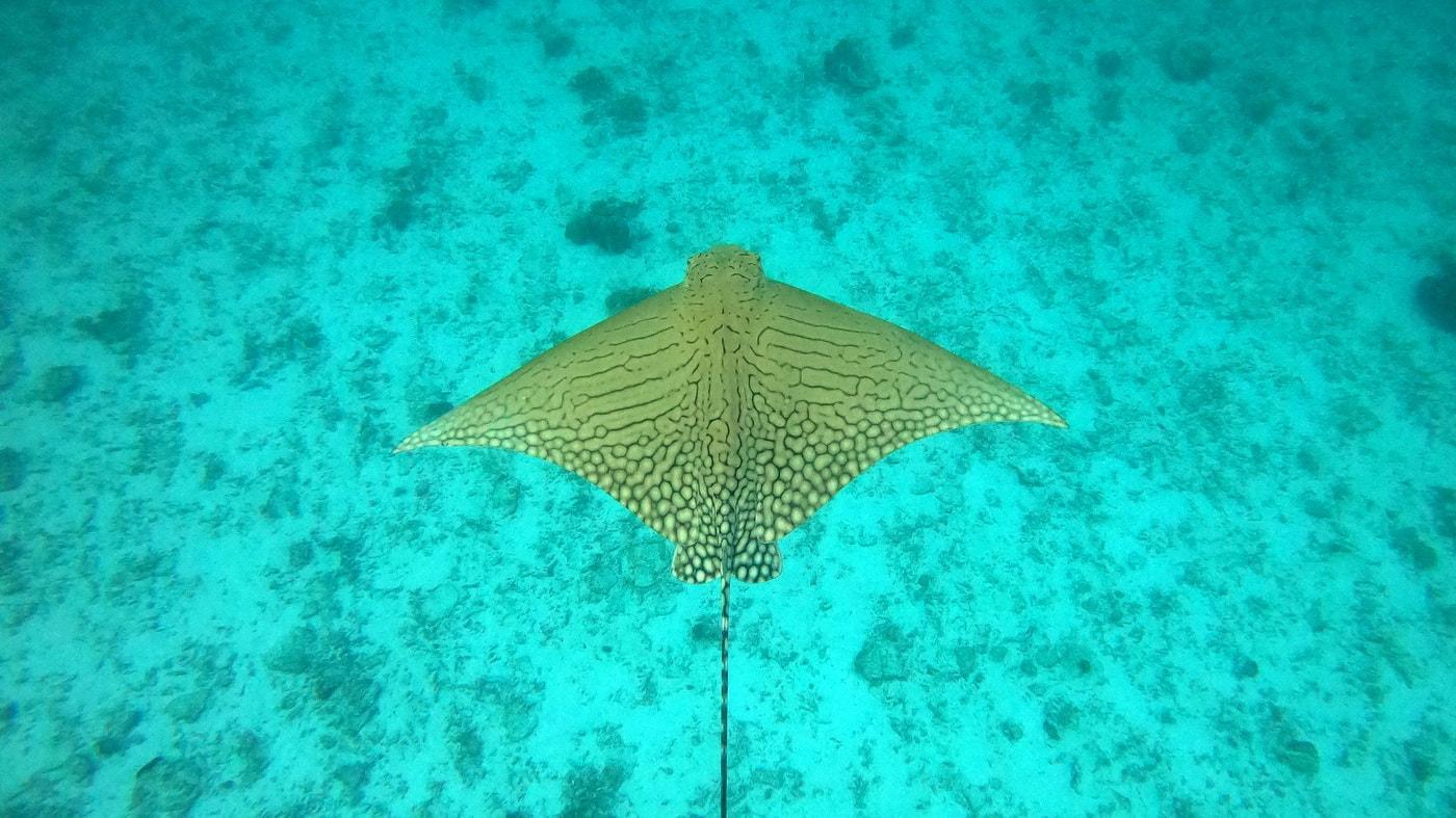 Adlerrochen Great Barrier Reef